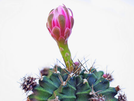 A pink cactus flower planted as a pot plant.