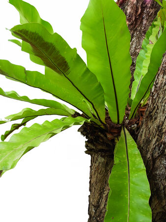 epiphytic: An air fern that is epiphytic with oblong leaves and leafy. The arrangement of the spores  into long stripes across the leaves.