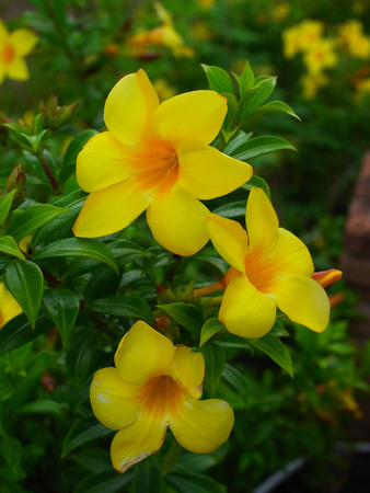 Yellow flowers with green calyx and five oblong or spear shaped stock photo yellow flowers with green calyx and five oblong or spear shaped petals mightylinksfo