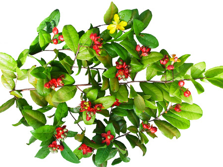 sepals: The perennial shrub with brown branches , yellow flowers and red sepals.