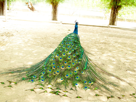 pavo: A  blue peafowl is  spreading its  tail - feathers.