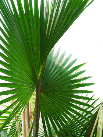 fan shaped: The beautiful canopy of small tree that can be planted in pot as an indoor ornamental plant.
