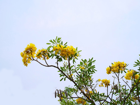 Tongurai is a small shrub with bright yellow flowers , serrated edges of green leaves and brown  pods of seeds.