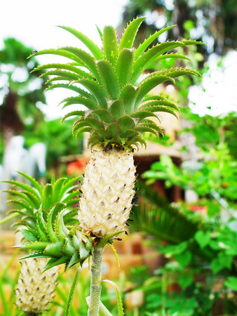 planted: Pineapple is a tropical fruit which is a good source of dietary fiber , vitamins and minerals  and can be planted for decoration.