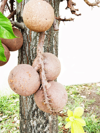 russet: Cannonball tree with russet spherical shells.Ripe fruits have many seeds.