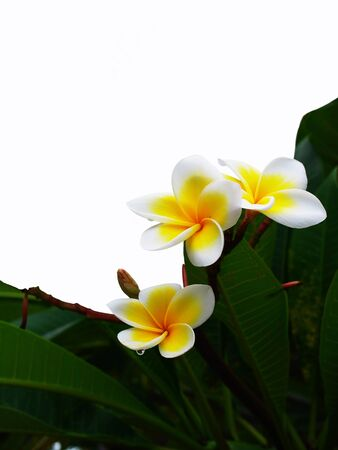 sassy: Frangipani is flowering plant grown for beautiful and sassy flowers.