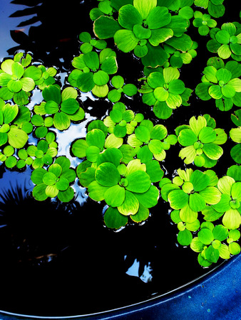 floating on water: Floating water fern can grow in water and waste water rich in nutrients.