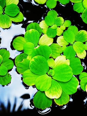 nutrients: Flotante helecho acu�tico puede crecer en el agua y las aguas residuales ricas en nutrientes.