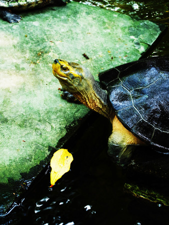 long lived: Turtle is cold - blooded animal in reptiles and is considered one of the most long- lived animal.