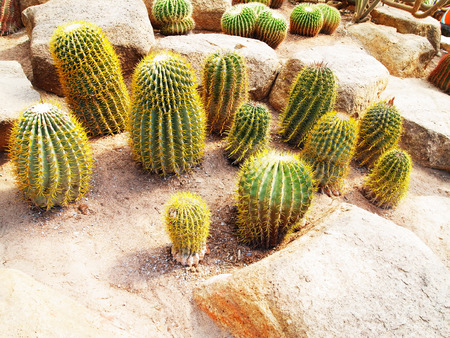 Tubular cacti with succulent stems and yellow  spines. Stock Photo