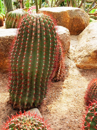A large tubular cactus with spines and succulent stem.