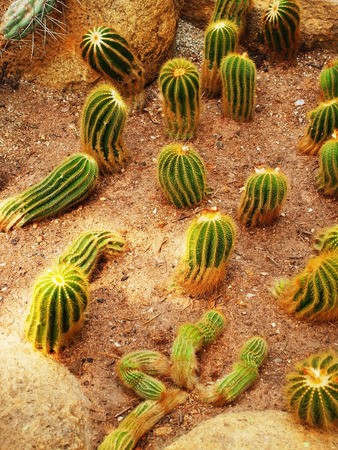 liked: Tubular cacti with coral  liked appearance are grown in desert  liked environment.