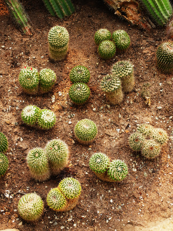 tubular: Tubular cacti with coral  liked appearance are grown in desert  liked environment.