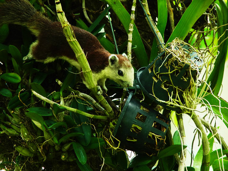 and diurnal: Squirrels are rodent in family Sciuridae. A brown tree squirrel clings on orchid stem with its claws and paws .