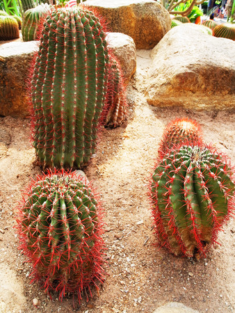 tubular: Spiny tubular cacti of various shapes are grown in desert  liked environment.