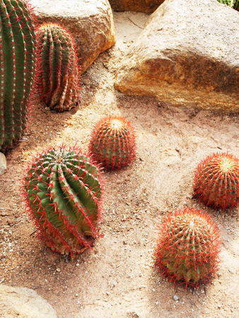 tubular: Tubular cacti with succulent stems and red  spines.