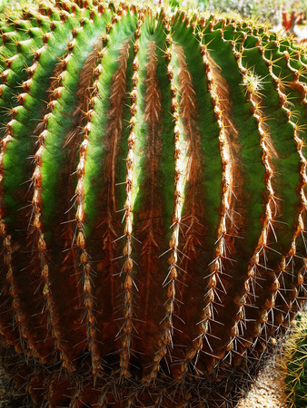 spiny: A sphere succulent cactus with spiny crests of stems .
