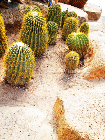 with spines: Tubular cacti with succulent stems and yellow  spines. Stock Photo