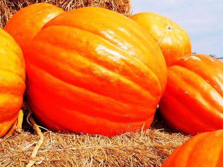 longitudinal: Giant pumpkins  with yellow skin and shallow  longitudinal sulci on their  surface.