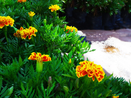 perennial: Chrysanthemum are herbaceous perennial plants . The flower is the compound inflorescence with an array of several flower heads.