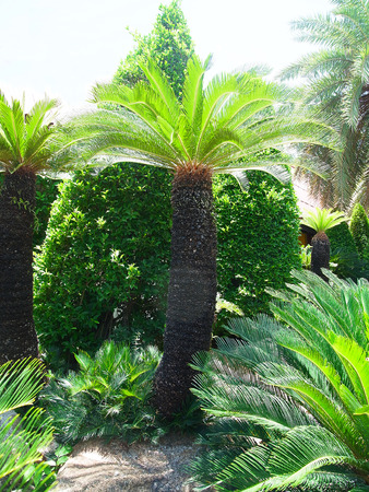 cycas: The ornamental plant with small leaves similar to palm can easily be grown and withstand drought .