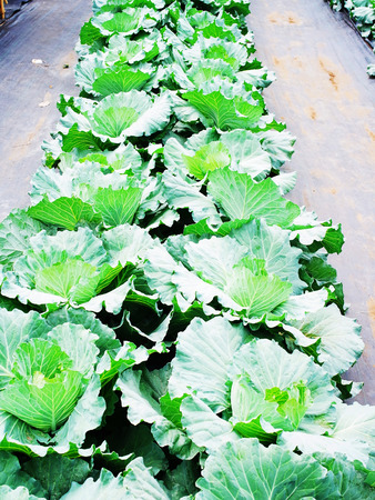 tartaric: Rows of cabbages grown in  industrial garden for its dense leaved heads. Stock Photo