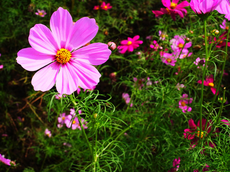 florets: A  pink cosmos flower with rings of ray florets and a center of disc florets. Stock Photo