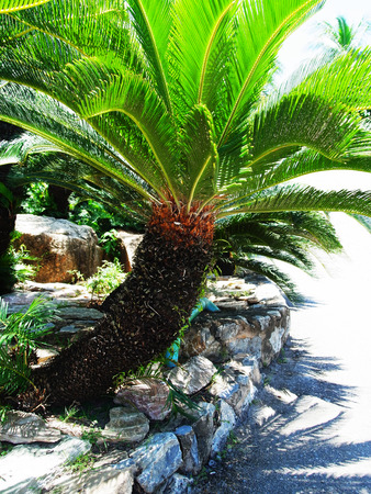 asian gardening: The ornamental plant with small leaves similar to palm can easily be grown and withstand drought .