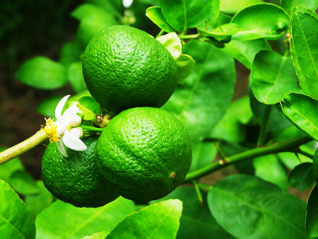 A green  citrus fruit that turns yellow when ripe and is used as cooking ingredients . Stock Photo