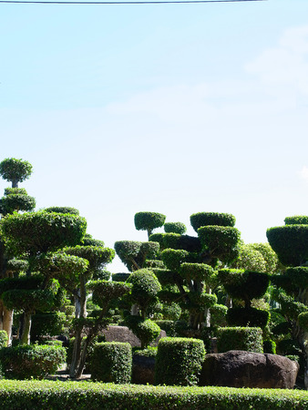 ebony: Ebony are grown as ornamental dwarf plant for garden decoration. Stock Photo