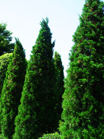 columnar: Pencil pines grow upright , columnar conifer and dark dense foliage.They are grown as ornamental trees. Stock Photo