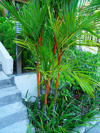 sealing: Sealing wax palm grown for decoration in home garden.They have deep red stems and are believed to be auspicious to owners.