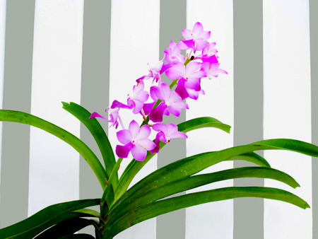pacific islands: Pink flowers of Dendrobium orchid species . Species are spread out in Asia and the Pacific Islands