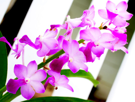 pacific islands: Pink flowers of Dendrobium orchid species . Species are spread out in Asia and the Pacific Islands. Stock Photo