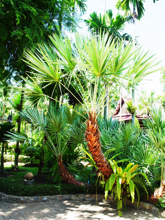 This palm is a plant native to Southeast Asia and widely grown as ornamental