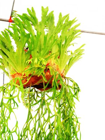 platycerium: Fern fronds are epiphytec and grown as ornamental plants decorated on a wall or trees. Stock Photo