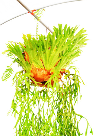 staghorn fern: Fern fronds are epiphytec and grown as ornamental plants decorated on a wall or trees. Stock Photo