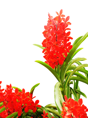 red orchid: Red orchid flowers rise on isolated background.