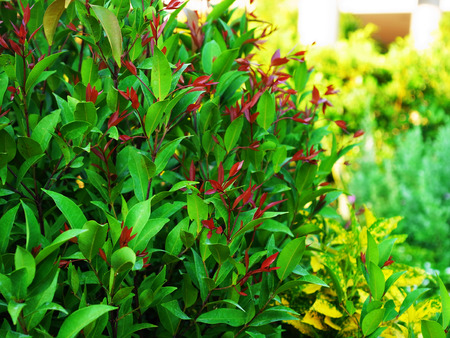 palisade: Christina tree is a fast growing plants and can be grown as fence or palisade and the leaves have colorful colors from pink , orange , yellow , green and red.