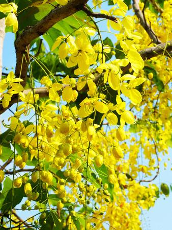 dignit�: Bouquets de fleurs d'or de l'arbre Ratchaphruek qui est le symbole de la dignit� et de l'honneur.