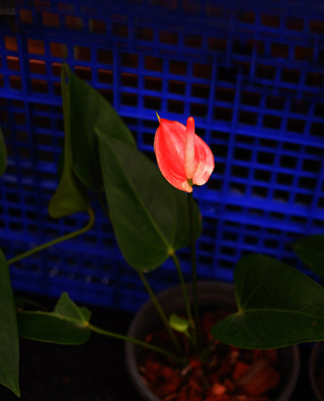elongation: The bright red flower of Anthurium specy that its inflorescence bear perfect small flowers containing in dense spirals on the spadix elongated club shaped structure .