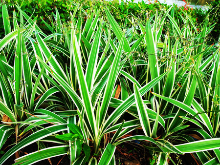 growers: Clumps of anthesicum are grown in a garden for decoration. They are believed to bring fortune and wealth to growers. Stock Photo