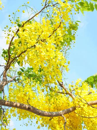 dignidad: Ramos de flores de oro del �rbol de Ratchaphruek que es el s�mbolo de la dignidad y el honor. Foto de archivo