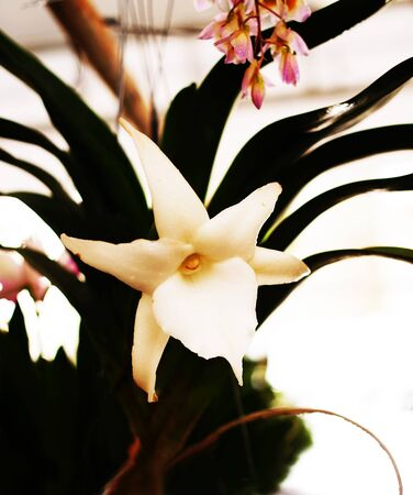 leathery: The spectacular orchids that have dark green leathery leaves and nocturnally scented white or ivory flowers.