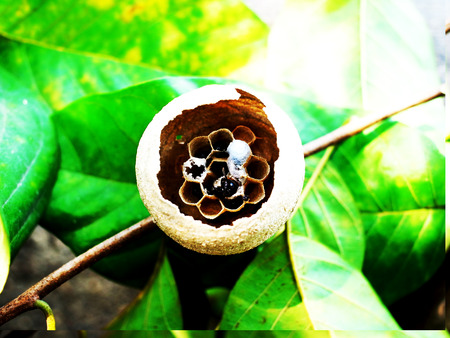 saliva: A nest of some insect like hornet looks like jar shape.It is made of saliva , pieces of paper and wood pulp.This cross section show structure of a horizontal  layer of cells.