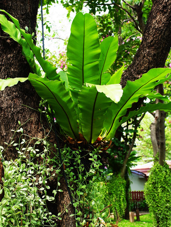 liked: The epiphytic fern that grow in a tight , nest - liked clump on tree or even or rocks.