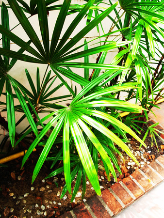 dioecious: The Lady Palm forms dense clumps of bamboo - like stalk and very dark green , broad , fan - shaped leaves .