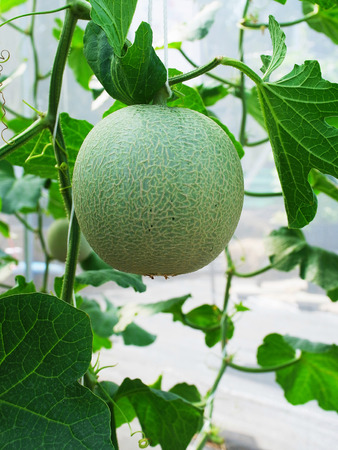 fleshy: A melon with rough and warty skin that is considered to be either fleshy fruit or vegetable.