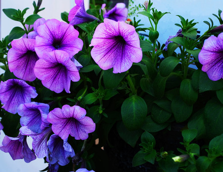 lobes: The flowers of tropical region with hairy leaves and five lobes of petals.