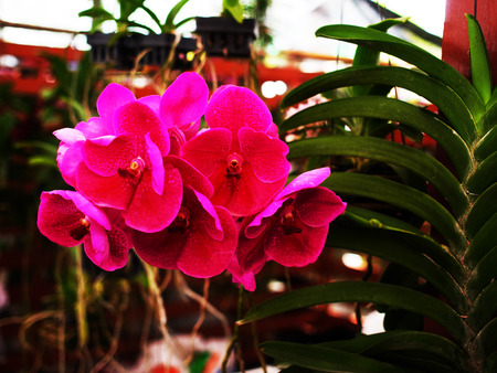 lasting: The orchids of thes genus  have fragrant , long lasting , and colorful flowers. Stock Photo